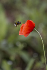 Amapola y abeja (sairacaz) Tags: red naturaleza verde green nature canon puppy rojo bee galicia abeja ourense amapola canon70200mmf4lusm eos70d