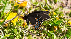 840A3019 (rpealit) Tags: nature butterfly river scenery wildlife trail national waters winding swallowtail refuge wallkill spicebush
