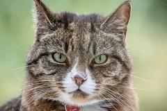 Jammy (SKAC32) Tags: tabby whiskers jamiroquai pussycat jammy sigma150600mmf563dgoshsmcontemporary