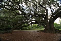 Canon206490 (godrudy6661) Tags: neworleans audubonpark treeoflife oaktrees