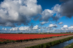 Cloudy afternoon in the Netherlands (Monika Kalczuga (v.busy)) Tags: flowers sky cloud holland nature netherlands clouds landscape spring tulips cloudy outdoor flowerbed fields flowerfields tulipfields typicaldutch