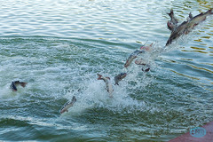 0413 IMG_8800 (JRmanNn) Tags: paradise lasvegas release catfish sunsetpark