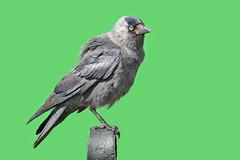 Gralha-de-nuca-cinzenta  - Western jackdaw - Corvus monedula (Yako36) Tags: bird nature netherlands wildlife natureza ave birdwatching zaanseschans tc14e nikonafs300f4 nikond7000