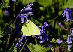Brimstone ---- Gonepteryx rhamni (creaturesnapper) Tags: uk europe butterflies lepidoptera brimstone pieridae coliadinae gonepteryxrhamni stockerslakenr