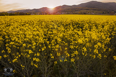 yellow mountain (maspa18) Tags: flowers sunset sky sun love yellow canon souvenirs see spring style sunny passion