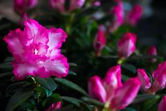 (BLEUnord) Tags: pink flowers fleur rose fleurs plante explore feuillage