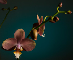 Phalaenopsis April 2016-3701 web (photognut) Tags: orchid flower indoor phalaenopsis gel strobe cto offcameraflash