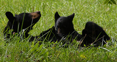 DSC09266 (God's World, USA) Tags: bear mountains tennessee wildlife great mother cubs smoky blackbear reservation cadescove smockymountains