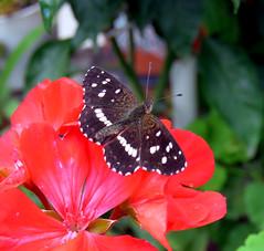 Mariposa marron. (jagar41_ Juan Antonio) Tags: insectos animal mariposa mariposas insecto macrofotografa
