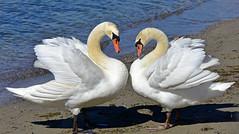 Couple de cygne (Diegojack) Tags: nikon eau coeur cygnes oiseaux prverenges nikonpassion d7200