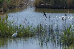 Una giornata al mare, 27 aprile 2016 (adrianaaprati) Tags: sea mer beach birds lago meer mare uccelli laguna swallow acqua egrettagarzetta rondine garzetta calmaallaperto