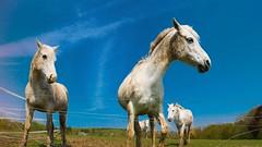 Horses (Yasmine Hens) Tags: horses horse landscape cheval lumix europa flickr belgium ngc campagne chevaux namur hens yasmine wallonie iamflickr flickrunitedaward panasonicdmclx100 hensyasmine