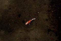 陰翳禮讚 In Praise of Shadows: SOLO.  Suizen-ji Jōju-en-12 水前寺成趣園 すいぜんじじょうじゅえん Contax CY 35/1.4 @ f11 (eefzed) Tags: nishikigoi fish carp koicarp koi 水前寺成趣園すいぜんじじょうじゅえん suizenji jōjuen suizenjijōjuen 水前寺成趣園 水前寺 成趣園 すいぜんじじょうじゅえん distagon1435 carl zeiss distagon 3514 cy sony a7 sonya7 distagon3514cy 日本 九州 熊本 陰翳禮讚 inpraiseofshadows inpraiseofdark 錦鯉 water river mmg