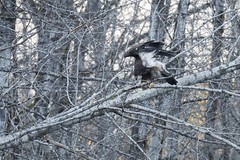 Young Eagle Stretching-1 (matthew.snyder54) Tags: winter river baldeagle eagles northcascades skagitriver