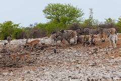 Steppenzebras (Equus quagga), Impalas, Warzenschweine und Perlhühner - Etosha-Nationalpark, Namibia (Nov. 2015) (anschieber | niadahoam.de) Tags: zebra impala namibia etosha zebras helmetedguineafowl 2015 antilopen plainszebra burchellszebra bontkwagga etoshanationalpark vlakvark blackfacedimpala gewonetarentaal vögelbirdsaves wiederkäuer commonwarthog afrikaafrica hühnervögel steppenzebraequusquagga guineafowlbird 201511 swartneusrooibok helmperlhuhnnumidameleagris perlhühnernumididae warzenschweinphacochoerusafricanus namibia2015 20151112 schwarznasenimpalaaepycerospetersi etoshazebras