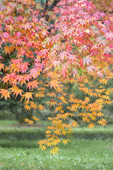 Falling Stars (mcb photography) Tags: autumn tree fall leaves season stars star leaf maple bush westonbirt aboretum aver mikebarber mcbphotography wwwmcbphotographycouk