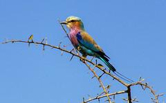Colors (Fil.ippo) Tags: bird colors animal southafrica filippo uccello sudafrica lilacbreastedroller sigma70300 coraciascaudatus ghiandaiamarinapettolilla d7000 filippobianchi happy2016