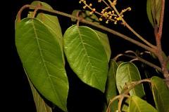 Aglaia brownii (andreas lambrianides) Tags: threatenedspecies australianflora meliaceae arfp australianrainforests australianrainforestplants trfp qrfp warfp aglaiabrownii yellowarfflowers cyrfp arffloweres australiannativeplats