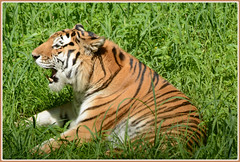 ``` Some Tiger Talk ``` (Wolverine09J ~ 1 Million + Views) Tags: fauna wildlife bigcat siberiantiger magiceye naturesbest worldofanimals spiritofphotography tigeringrass blinkagain thelooklevel1red thelooklevel2yellow thelooklevel3orange thelooklevel4purple mnzooandmore
