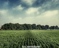 Parallel trees (nature&travel photography) Tags: travel tree nature beautiful weather photography naturephotography bestshot