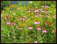Combat Winter Fatigue! (mystuart) Tags: summer echinacea queenanneslace butterflyweed