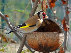 Goldfinch and coconut - Photographe  la noix ! (GCau) Tags: france bird nature coconut goldfinch provence oiseau noixdecoco chardonneret gecau