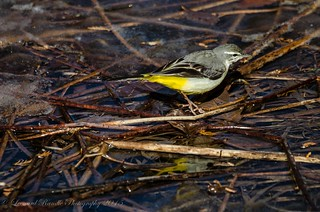 Grey wagtail  on Frozen Pond