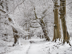 Lady's Walk (Damian_Ward) Tags: wood trees winter ladies snow lady woodland path nt walk chilterns nationaltrust beech hertfordshire ashridge herts thechilterns chilternhills dacorum ashridgeestate lady's ringshall damianward thunderdellwood ©damianward