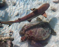 Shark Turtle (Warriorwriter) Tags: ocean swimming island marine underwater wildlife tropical aquatic seaturtle palau pw oceania koror blacktip