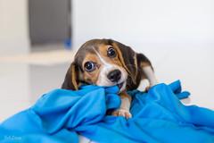 Hello Peanut! (hak87) Tags: dog pet beagle animal puppy domestic