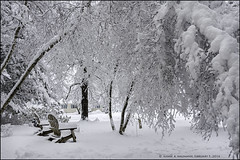 HEAVY SNOW, I (susies.genii) Tags: trees snow scenery outdoor snowfall ourgarden birchtrees winterscene adirondackchairs february52016