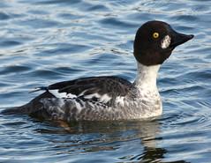 Goldeneye (Peanut1371) Tags: brown white black water yellow duck goldeneye nationalgeographicwildlife