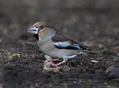 Hawfinch 2 (martinru60) Tags: bird nature wildlife gloucestershire finch forestofdean parkend hawfinch