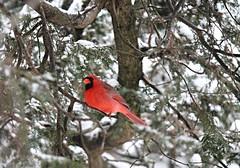 Cardinal in the Cedar tree - HTMT! (karma (Karen)) Tags: trees snow home topf25 birds dof maryland baltimore brightcolors 4winter cedars cardinals htmt