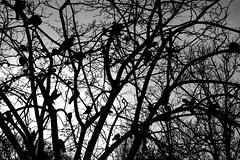 The Birds (ngel Delgado) Tags: park parque trees sky blackandwhite bw espaa naturaleza white black tree bird byn blanco nature birds digital canon contraluz garden dark photography eos photo sevilla andaluca spain rboles europa europe flickr 300d foto mary negro paloma wb seville cielo fotos rbol palomas andalusia luisa mara backlighting pjaro jardn oscuro fotografa pajros