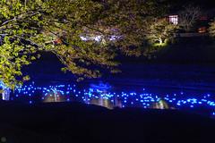 20160305-DSC_2212.jpg (d3_plus) Tags: street sea sky plant flower nature japan spring nikon scenery nightshot cloudy bloom  cherryblossom  sakura lightup nightview 28105mmf3545d nikkor    shizuoka    izu   28105   rapeblossom    28105mm  zoomlense  minamiizu    kawazuzakura    28105mmf3545 d700 281053545  nikond700 shimokamo aiafzoomnikkor28105mmf3545d nightcherryblossom 28105mmf3545af    southcherryblossomandrapeblossomfestival aiafnikkor28105mmf3545d shootingstarsandsakurainnight sakurainnight