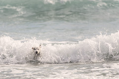 Dogs against Water (Pilozzo) Tags: wild dog pet sardinia wave cutie cani