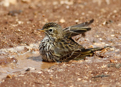 Meadow Pipit (Cyprus Bird Watching Tours - BIRD is the WORD) Tags: bird nature flickr canon cyprus colour color sunny bright wildlife pipit action speed quick cyprusbirds cyprusbirding cyprusbirdwatching cyprusbirdingtours cyprusbirdwatchingtours cyprusguidedtours birdmigration europeanbirds ecotours cyprusecotours cyprussafari safari highquality birding birdwatching nois noimagestabilizer handheld birdingtourscyprus birdwatchingtourscyprus animal outdoor professionalphotography westernpalearctic nationalgeographic bbcearth birdwatch rspb birdlifeinternational twitch art ethicalphotography