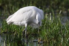 Little Egret (2 of 5) (Robin M Morrison) Tags: light car perfect somerset hide littleegret westhay somersetlevels