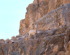 Young bighorn sheep - Titus Canyon, Death Valley NP (Wayne~Chadwick) Tags: 2016deathvalleytrip