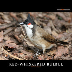 RED-WHISKERED BULBUL (Matthias Besant) Tags: africa color bird nature animal closeup proud fauna deutschland zoo natur feathers aves exotic tropic elegant vgel plage farbig nahaufnahme tier vogel voegel frech bulbul stolz tropicbird redwhiskeredbulbul tropen farbenfroh schn haube federn feathering colorous zoofrankfurt querformat nachtigal tierportrait zutraulich blbl rotohrblbl kopffedern tropenvogel fluchtvogel matthiasbesant haarvogel
