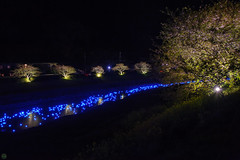 20160305-DSC_2227.jpg (d3_plus) Tags: street sea sky plant flower nature japan spring nikon scenery nightshot cloudy bloom  cherryblossom  sakura lightup nightview 28105mmf3545d nikkor    shizuoka    izu   28105   rapeblossom    28105mm  zoomlense  minamiizu    kawazuzakura    28105mmf3545 d700 281053545  nikond700 shimokamo aiafzoomnikkor28105mmf3545d nightcherryblossom 28105mmf3545af    southcherryblossomandrapeblossomfestival aiafnikkor28105mmf3545d shootingstarsandsakurainnight sakurainnight