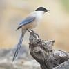 Rabilargo (miguelangelortega) Tags: naturaleza bird nature nikon 300mm ave pájaro azurewingedmagpie cyanopicacyanus rabilargo pegaazul ltytr1 d7100 garsablava