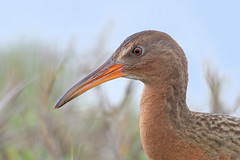 Light-footed Ridgway Rail (bmse) Tags: portrait closeup canon chica rail l f56 bolsa ridgway salah 400mm wingsinmotion 7d2 lightfooted bmse baazizi