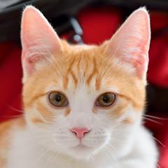 Gato Jinks  (28) (adopcionesfelinasvalencia) Tags: gato jinks