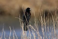"""""""Red-winged Blackbird"""" """"Agelaius phoeniceus"""" (jackhawk9) Tags: nature birds canon newjersey wildlife ngc blackbird southjersey redwingedblackbird agelaiusphoeniceus edwinbforsythenationalwildliferefuge jackhawk9"""
