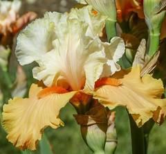 """The """"Impulsive"""" iris at Schreiner's Iris Gardens in Salem, Oregon (mharrsch) Tags: iris orange flower oregon flora salem mharrsch schreinersirisgardens"""