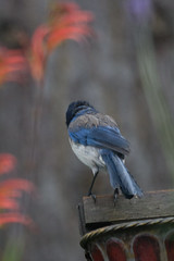 IMG_3268 (armadil) Tags: bird birds backyard jay jays scrubjay scrubjays