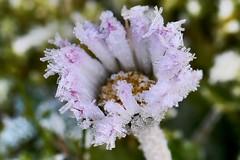 Gnseblmchen mit Eiskristallen (heike.fester) Tags: daisy gnseblmchen klte eisblume eiskristalle canon100mm28 kltefrhling glitteringicecrystals