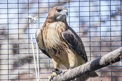 Brian_Red-tailed Hawk_Before Heavy Processing 1 LG_032316_2D (starg82343) Tags: bird nature pen wire md hawk wildlife beak maryland cage raptor perched pasadena 2d claws redtailedhawk talons downspark brianwallace legband beforeheavyprocessing
